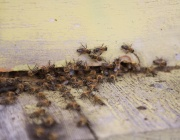 Музей на пчелите отваря врати в София
