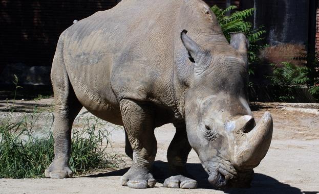 Учени успяха да поставят ембрион на женски носорог, чиито яйцеклетки
