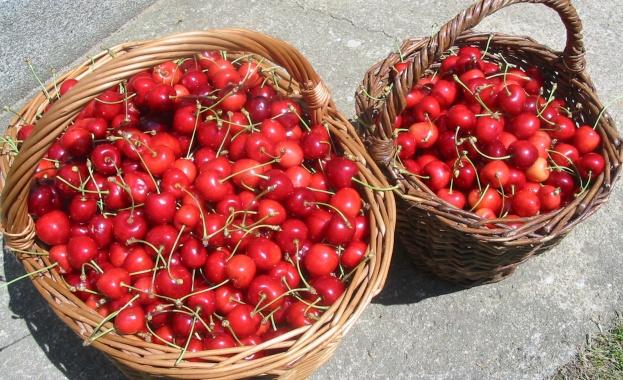Евтини ягоди и череши заляха пазара. След като цената на