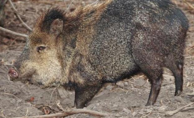 Към момента от болестта, разпространяваща се основно при свинете и