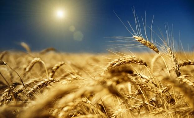 Зърното за хляб тръгва с цена от 300 лв. за тон
