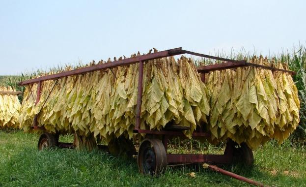 Първият изкупен тютюн скочи до 3.40 лв. килограма