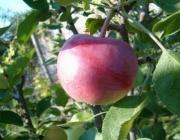 Учени спасяват 200-годишно ябълково дърво в Англия