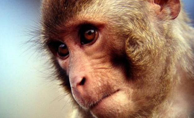 Ново изследване показа, че маймуните могат да решават математически задачи,