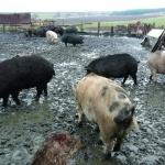 Стопаните в Берковица трябва да регистрират животните си заради африканска чума