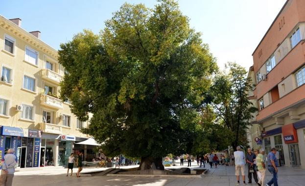 Старият бряст в Сливен е европейско дърво на годината