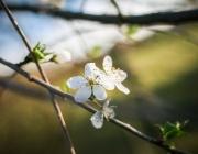БАН: Топлата зима обърква растенията