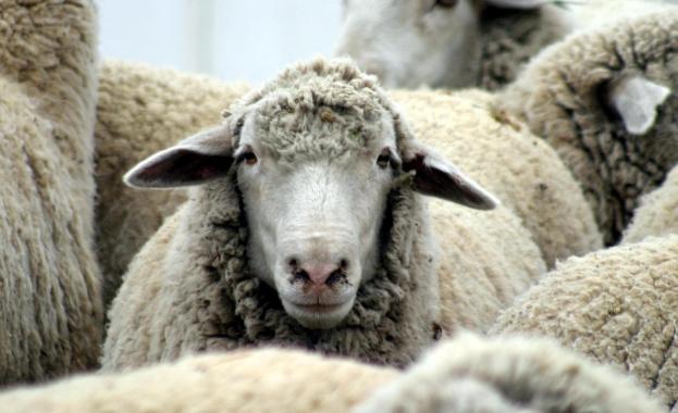Повече от 300 души от 34 държави премериха сили по стригане на овце