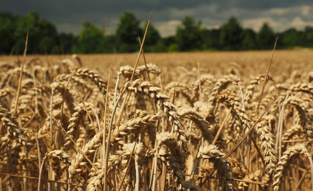 Русия се очертава като износител № 1 на пшеница в