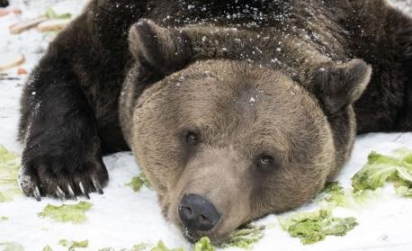 Всички мечки в парка край Белица спят зимен сън – за първи път от създаването на убежището