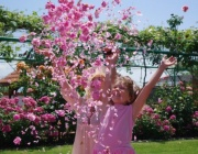 Между 3 и 3.50 лв. е изкупната цена за килограм розов цвят