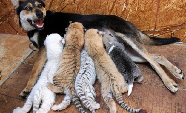 Куче осинови тигърчета