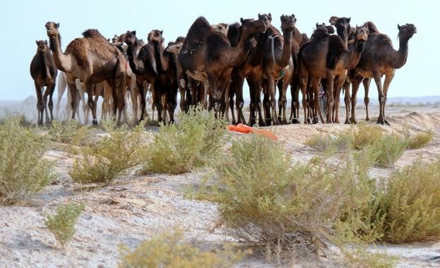Абу Даби създава полицейски патрули с камили