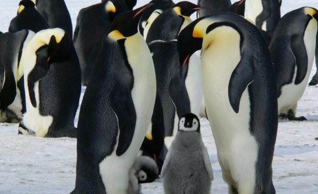 Императорските пингвини- изчезващ вид до края на века