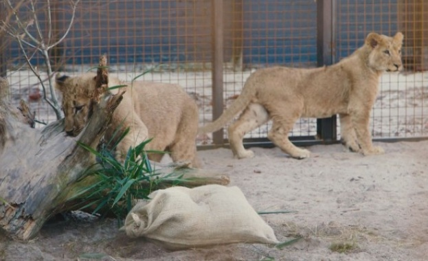 Здравословното състояние на лъвчетата Терез и Масуд, които бяха спасени
