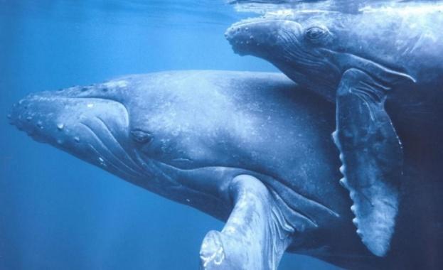 Палеонтолози идентифицираха нов вид древни китове, които се срещали в