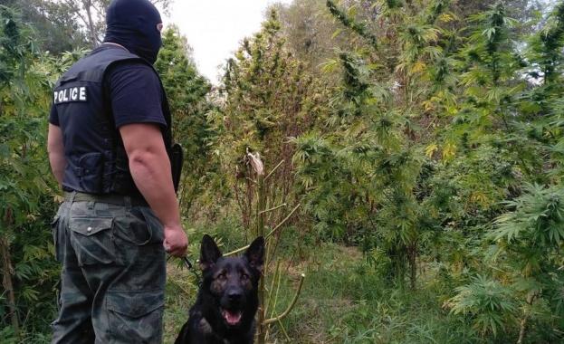 Инспектор от БАБХ отглеждал плантация с канабис