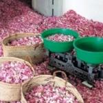 БСП инициира обсъждане на Закона за маслодайната роза