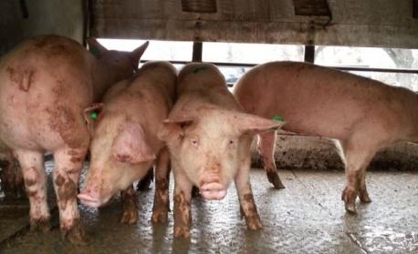 Китайски учени откриха структурата на вируса на Африканската чума по свинете