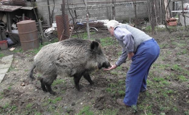 Проверяват за отглеждане на прасета в задните дворове в цялата страна