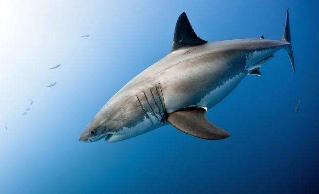 Загадъчно струпване на акули край плажове в САЩ