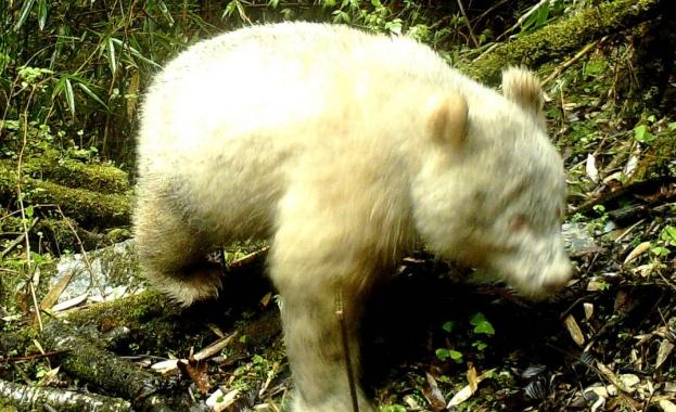 Рядка панда албинос е била заснета с камера в природен