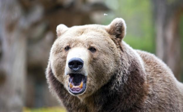 Откриха застреляна мечка в горите край Самоков