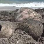 """Обезглавено делфинче потресе плажуващите на """"Корал"""""""