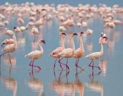 Изобилие от розови фламинги в Атанасовското езеро