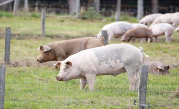 Увеличават се случаите на АЧС по дивите свине в Североизточна България