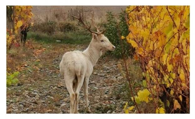 Бял елен край Карловско, добра поличба за района