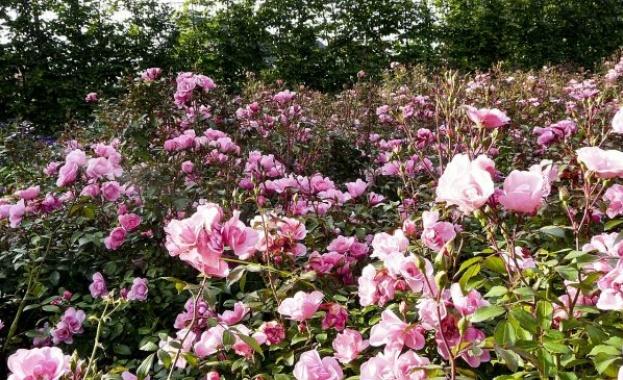 """Маслодайната роза, наричана """"дамасцена"""