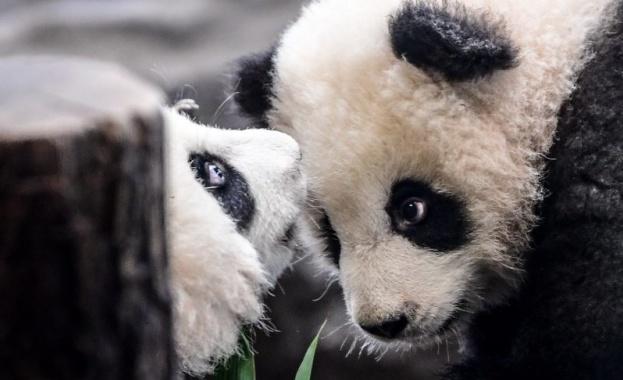 Берлинският зоопарк представи официално най-новите си обитатели – пандите близнаци