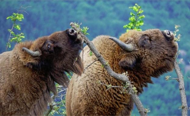 Зубрите се завърнаха в Източните Родопи
