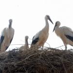 9 бели щъркела останаха у нас за зимата, показа преброяване на птиците