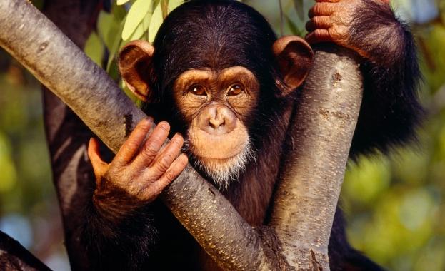 Шимпанзе е първият примат, летял в Космоса
