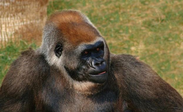 Възрастна мъжка горила от зоопарка в Сан Диего, Калифорния, заразена