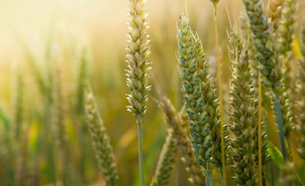 България е 11-а в света и 4-а в ЕС по износ на пшеница