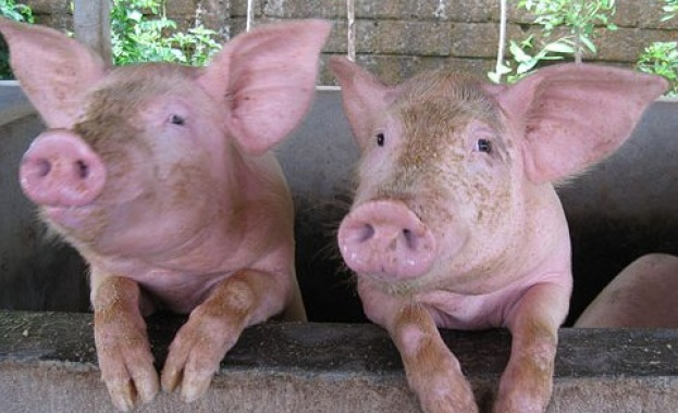 Евтаназират 200 прасета в плевенското село Брест