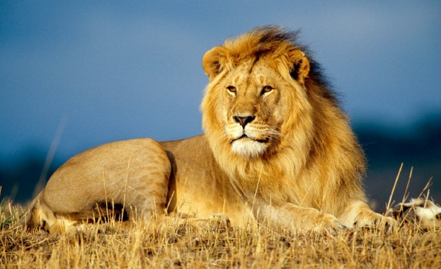 Два лъва нападнаха и раниха тежко жена, влязла по работа