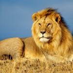 Лъв се зарази с новия коронавирус в Шри Ланка