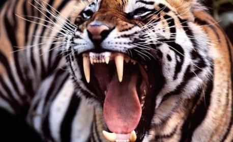 Сибирски тигър уби служителка в зоопарка в Цюрих