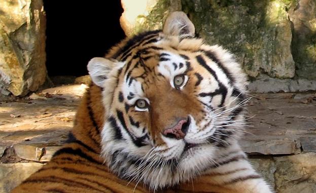 Тигрица, която живее в зоологическата градина в нюйоркския регион Бронкс,