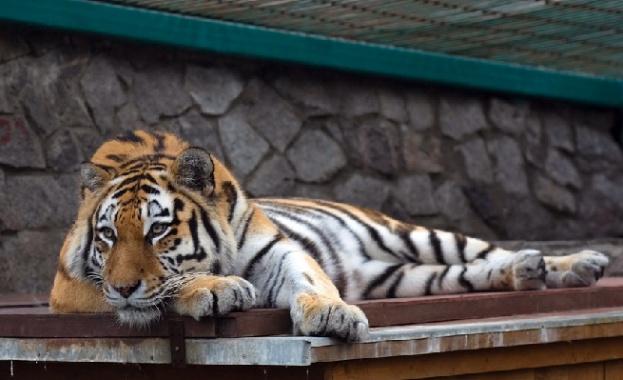 Световен ден на тигъра и опазването на популацията му