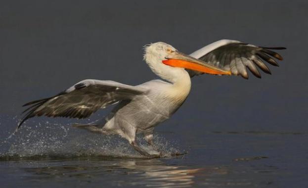 Северни птици превзеха езерото Сребърна