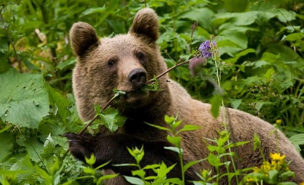 Мечките в Аляска стават вегетарианци заради глобалното затопляне