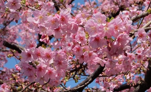 """Цъфнаха прочутите японски вишни """"сакура"""""""