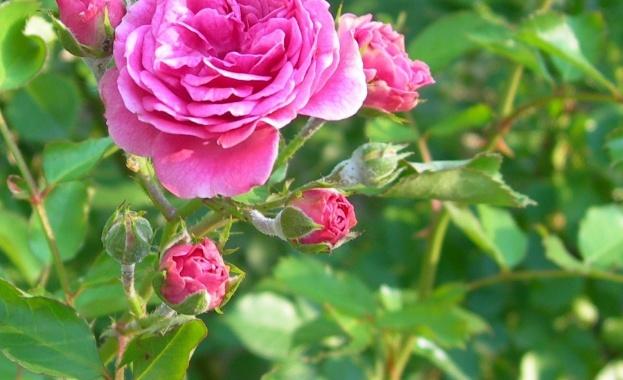 Тази година Царица Роза ще се избира онлайн И през