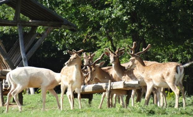 Стадо елени унищожава за втора година част от реколтата на