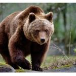 Спасиха мъж, атакуван цяла седмица от мечка в Аляска